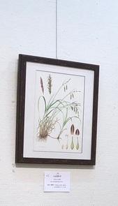 2021植物画倶楽部展ナルコスゲIMG_1266.jpg