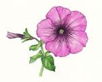 ペチュニア 赤紫 彩色.jpg