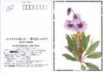 案内状ヒマラヤの花.jpg